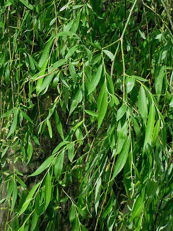 Hankow Willow
