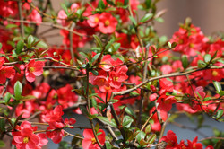 Japanese Flowering Quince