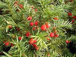 Anglo Japanese Yew