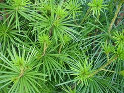 Japanese Umbrella-pine