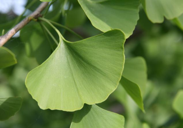 Maidenhair Tree (Gingko)