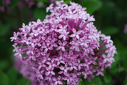 Meyer Lilac