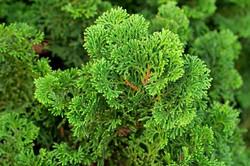 Hinoki False Cypress