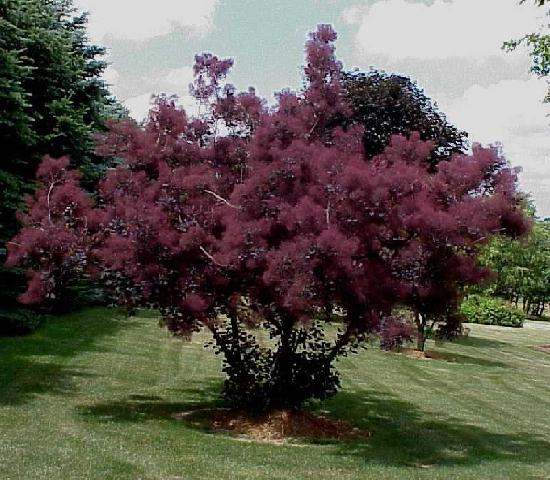 Purple Smoketree
