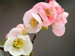 Japanese White Quince