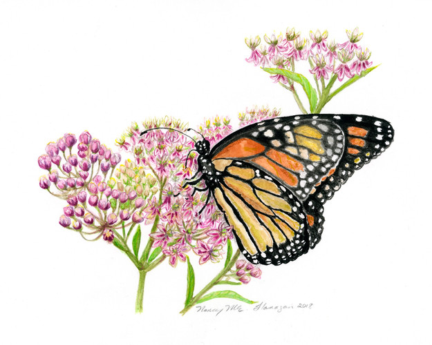 Monarch Sips Swamp Milkweed 1