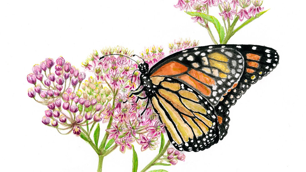 Monarch Sips Swamp Milkweed Cards