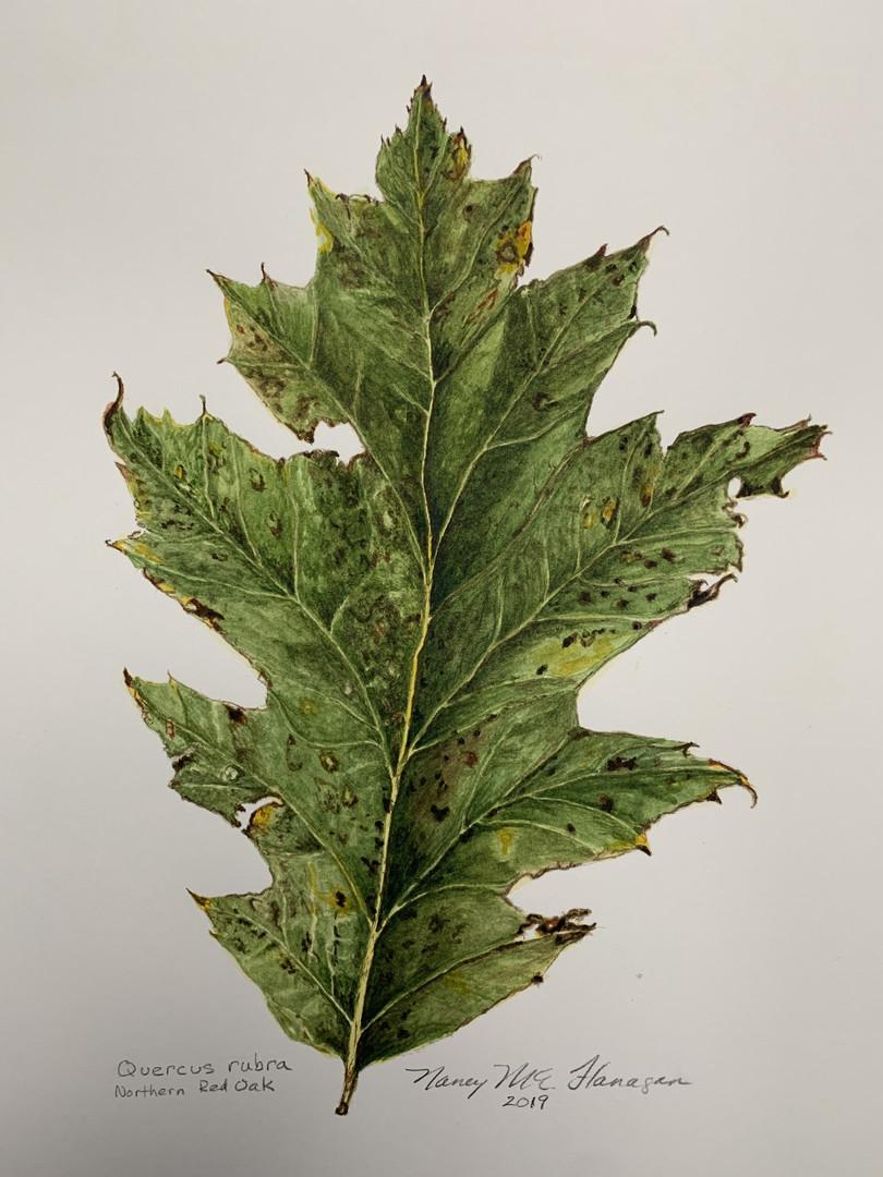 Red Oak Leaf 1