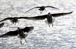 Godwits Flight