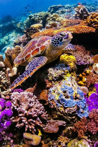 A turtles chilling on a Reef in Playa del Carmen, photographed while scuba diving in Mexico.