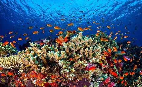 A beautiful coral reef enjoyed while diving Cozumel Island, at Palanar reef