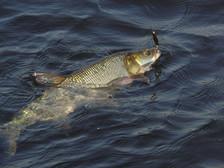 «Самарские жерехи», (Рыбачьте с нами 11/2008)