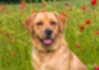 labrador pet portrait photography kent