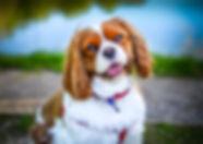 king charles spaniel pet portrait photography kent