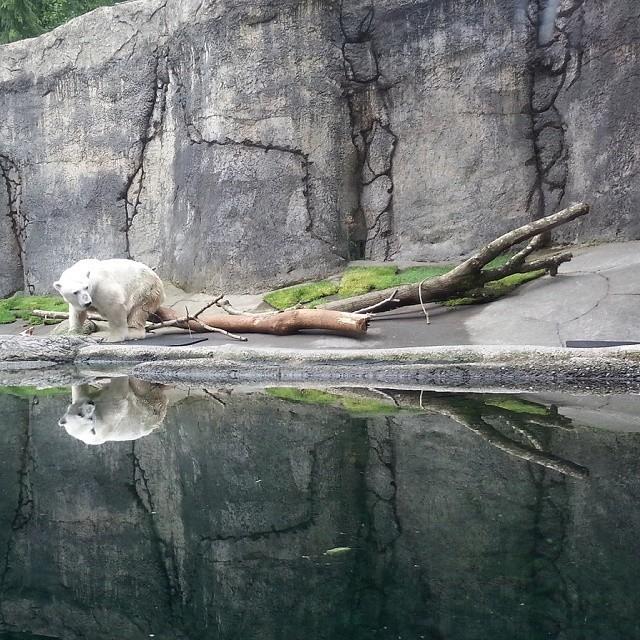 Polar Bear Reflections