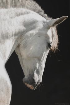 equine fine-art