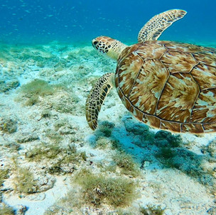 Top 3 snorkeling sites on Aruba to spot turtles.