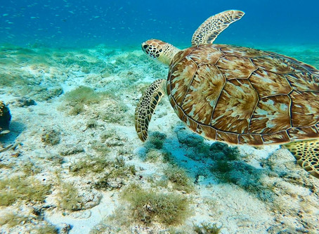Tips to find the best snorkeling sites on Aruba to spot turtles.