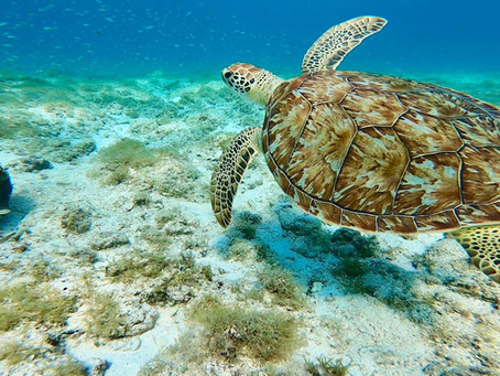 Top 3 snorkeling sites on Aruba to spot turtles.