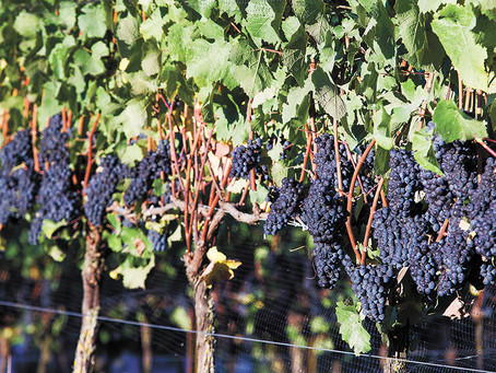 Budding Interests: Yamhill Valley offers growing variety of Vitis vinifera