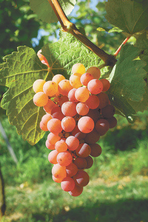Gewürztraminer grapes, difficult to say by easy to enjoy // Stock photo