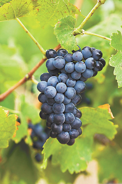 Syrah grapes, a Rhone varietal planted in the Yamhill Valley in the '90s. // Stock photo