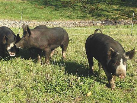 Farm to fork...for local pork