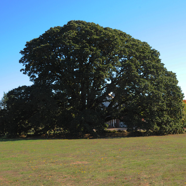Located near the tasting room is this 171-year old oak tree, which gives shade to the burial place of Ewing Young.