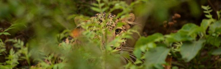 Leopard in Corbett India