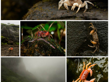 The Wild West: The discovery of 1 new genus, 11 new species and 1 rediscovery of crabs in the Wester