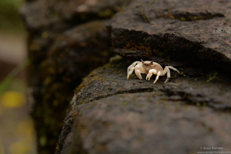 Sahyadriana waghi new species of crab discovered western ghats india arjun kamdar