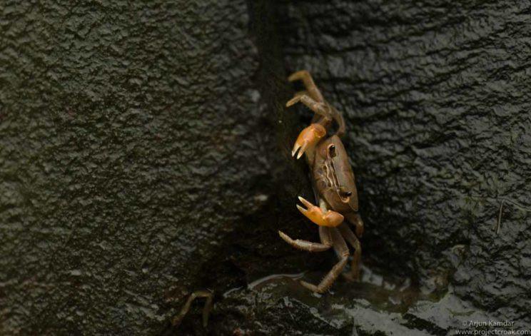 Sahyadriana tenuiphallus new species of crab discovered western ghats india arjun kamdar