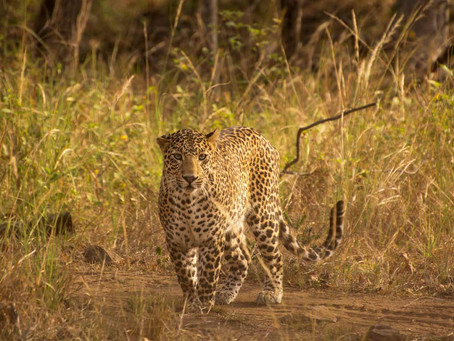 How humans and leopards live alongside each other in Mumbai