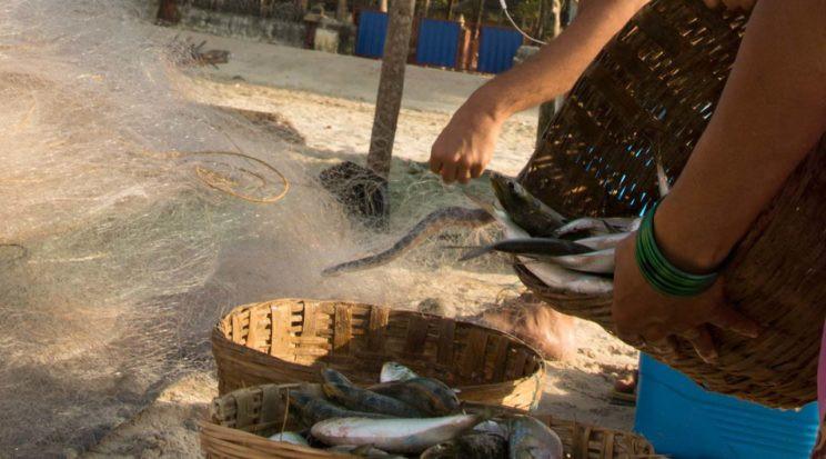 hook nosed sea snake entangled in fishing net maharashtra india