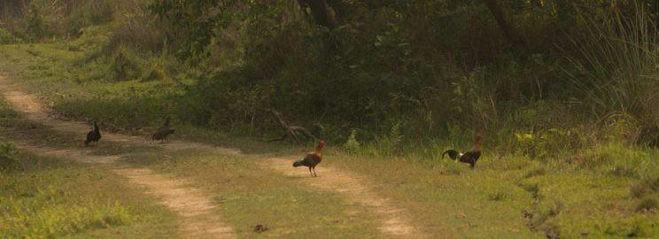 A male indian red junglefowl in katerniaghat wildlife sanctuary arjun kamdar