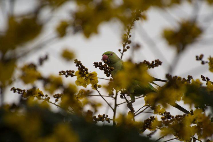 A parakeet munches on the yellow flamboyant mumbai arjun kamdar