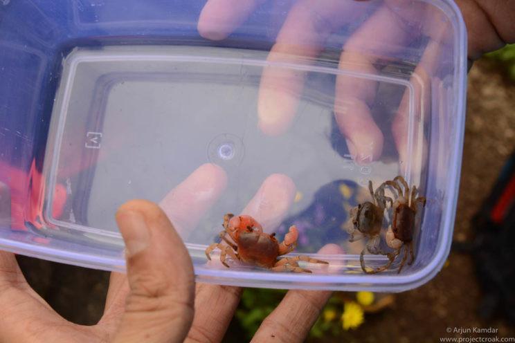 Crab collection science taxonomy western ghats arjun kamdar tejas thackeray