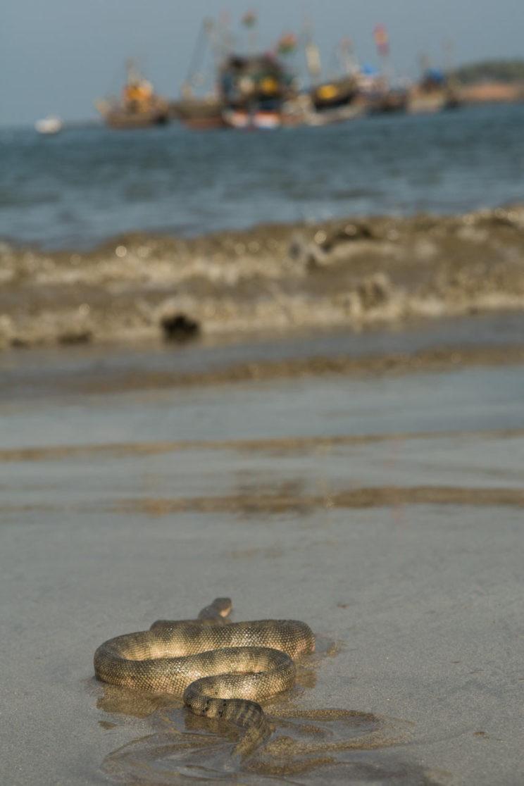 Hydrophis schistosa trawler malvan maharashtra india arabian sea hook nosed sea snake