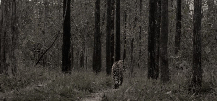 black and white leopard image wide angle india satpura tiger reserve