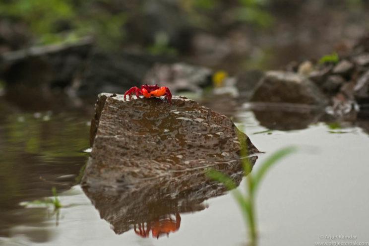 Sahyadriana thackerayi new species of crab discovered western ghats india arjun kamdar tejas thackeray