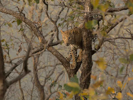 Courting leopards chased by wild dogs in central India