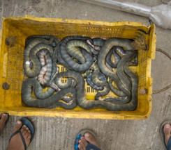Sea snakes caught in fishing nets