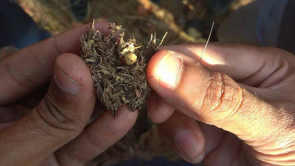 porcupine poop seed disperser eastern ghats telangana amrabad tiger reserve arjun kamdar