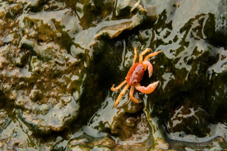 Gubernatoriana wallacei new species of crab discovered western ghats india arjun kamdar