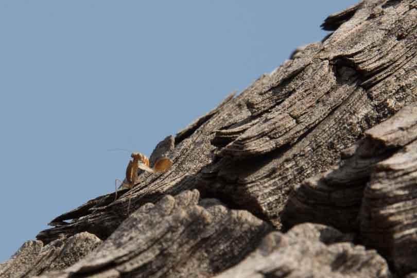 praying mantis displaying eastern ghats telangana amrabad tiger reserve arjun kamdar