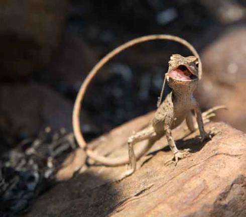 Garden lizard eating a grasshopper