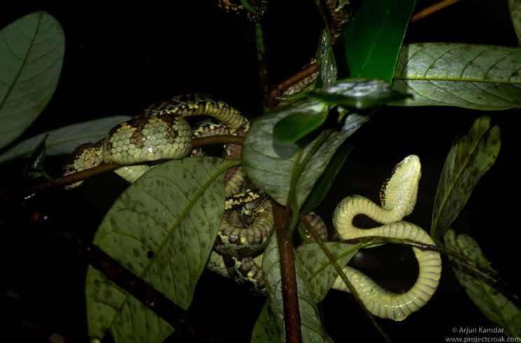 Malabar Pit Viper mating clump arjun kamdar