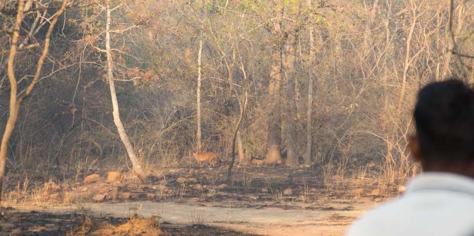 wild dog dhole eastern ghats telangana amrabad tiger reserve arjun kamdar