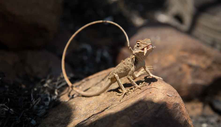 calotes versicolor garden lizard feeding eastern ghats telangana amrabad tiger reserve arjun kamdar