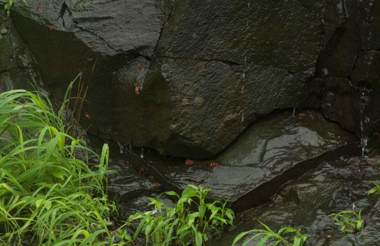 Gubernatoriana thackerayi habitat shot arjun kamdar western ghats